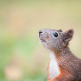 Squirrel portrait Stock Images