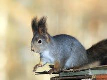 Squirrel portrait. Beautiful squirrel sitting on birdhouse Royalty Free Stock Image