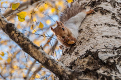 Squirrel portrait birch grey Stock Image