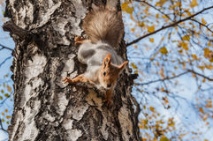 Squirrel portrait birch grey Royalty Free Stock Photo