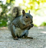 Squirrel portrait Royalty Free Stock Photos