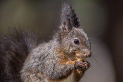 Squirrel portrait Stock Images