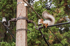 Squirrel portrait electric cable Stock Photo