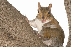 Squirrel portrait Royalty Free Stock Image