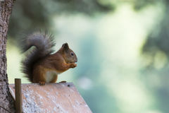 Squirrel portrait in profile. Squirrel sitting on bird-house and eating nut Stock Image