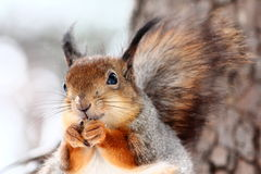 Squirrel. Portrait of squirrel sitting on a branch in snowy park royalty free stock images