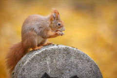 A squirrel poses in city park Royalty Free Stock Photo