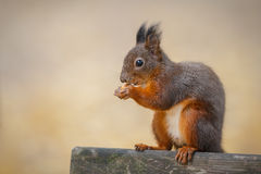 A squirrel poses in city park Stock Image