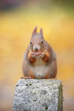 A squirrel poses Stock Images
