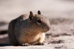 Squirrel posing Royalty Free Stock Photography