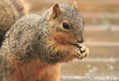 A Squirrel posing pretty. I really love springtime, when I get to watch all the wildlife Stock Photos