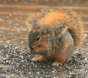 A Squirrel posing pretty. I really love springtime, when I get to watch all the wildlife Stock Photography