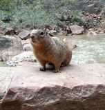 Squirrel posing beside river. Squirrel poses proudly in front of raging river on a rock Stock Image
