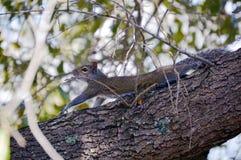 Squirrel posing on tree Royalty Free Stock Photos