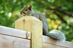 Squirrel on a post stock image