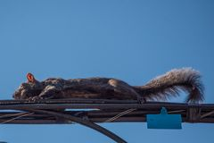 Squirrel on a Powerline royalty free stock image