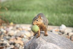 Squirrel. Preparing for winter Stock Photos