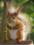 Squirrel with pressed paws 1 Stock Photo