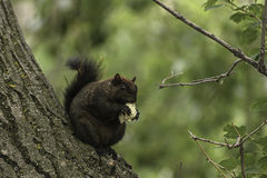 Squirrel in Prince`s Island Park. Black squirrel standing on a plant and eating a small piece of bread royalty free stock image