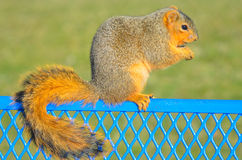 Squirrel profile Royalty Free Stock Photos