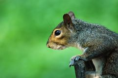 Squirrel Profile. Profile of a cute squirrel taken at Queens Zoo in NYC Royalty Free Stock Photography