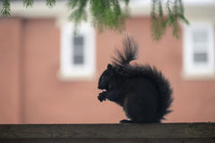 Squirrel profile in Canada. Squirrel in Canada profile on the backgroud of a house Stock Photography