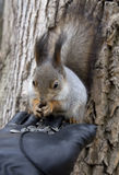 Squirrel. Protein - beautiful and clever animal with a long body and very fluffy tail Royalty Free Stock Image