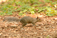 Squirrel on the Prowl 2 Stock Photography