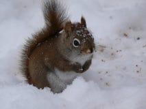 Squirrel in Quebec. Canada, north America. Squirrel in Quebec. Canada north America royalty free stock photography