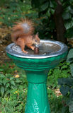 Squirrel quenches thirst at the fountain Stock Images