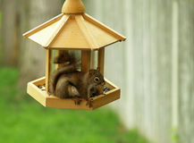 Squirrel raiding the feeder Stock Photo