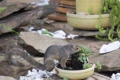 Squirrel feeding on garden plants stock photo