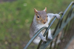 Squirrel on railings Stock Photos