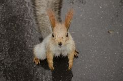 Squirrel on the rainy road stock photography