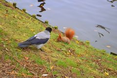 A squirrel and a raven royalty free stock photos
