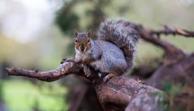 Squirrel. In Ravenscourt park, London Stock Photo