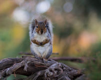 Squirrel. In Ravenscourt park, London Stock Images