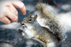 Squirrel Reaching Royalty Free Stock Photo