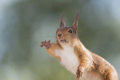 Squirrel is reaching out Royalty Free Stock Image