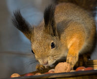 Squirrel reaching for the walnut Royalty Free Stock Image