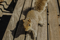 Squirrel Ready Royalty Free Stock Images