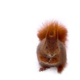 Squirrel red. In park red squirrel on withe snow - winter Royalty Free Stock Images