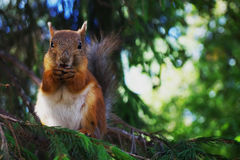 Squirrel. Red squirrel chews a nut on a spruce royalty free stock photography