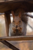 Squirrel. The Red squirrel cracks nuts Stock Photography