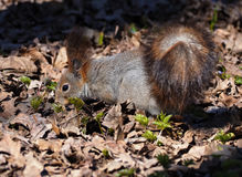 Squirrel red cute looking for food at forest at leaves Stock Photos