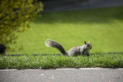 Squirrel red fur funny pet green background wild animal in Edinburgh Royalty Free Stock Images