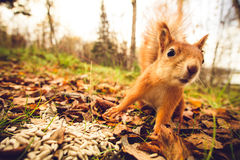 Squirrel red fur funny pets autumn forest on background Royalty Free Stock Photos