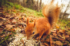 Squirrel red fur funny pets autumn forest on background Royalty Free Stock Images