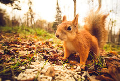 Squirrel red fur funny pets autumn forest on background Stock Photos