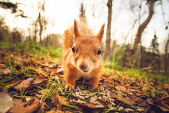 Squirrel red fur funny pets autumn forest on background Royalty Free Stock Image
